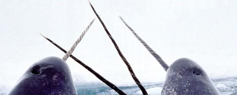 Rätselhafte Tiere: Der Narwal