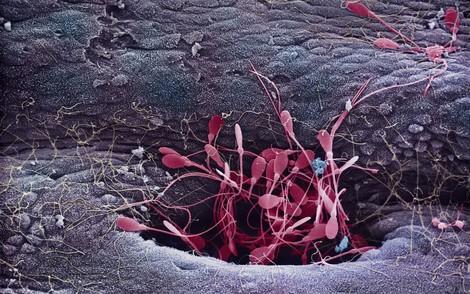 """Ehrgeizige Spermien - Ein """"Macho Mythos"""" der Biologie"""