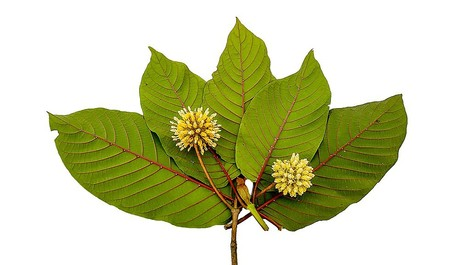 Die Blätter des Kratom-Baums: Kein Wundermittel, aber gefährlich